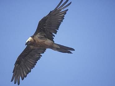 Bearded vulture in Rauris Valley